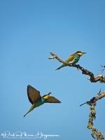 Bijeneter-Europian Bee-eater-Bienenfresser-Merops apiaster2-MDH