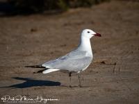 Audouins Meeuw-Audouin's Gull-Korallenmöwe-Larus audouinii-MDH