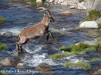 Iberische Steenbok-Iberian ibex-Iberiensteinbock-Capra pyrenaica1-MDH