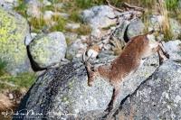 Iberische Steenbok-Iberian ibex-Iberiensteinbock-Capra pyrenaica1