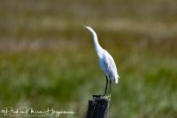 Kleine Zilverreiger-Little Egret-Seidenreiher-Egretta garzetta