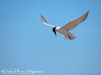 Lachstern-Gull-billed Tern-Lachseeschwalbe-Gelochelidon nilotica1-MDH