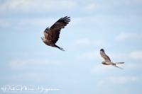 Steppekiekendief-Pallid Harrier-Steppenweihe-Circus macroerus- met zwarte wouw-MDH