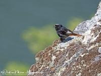 Zwarte Roodstaart-Black Redstart-Hausrotschwanz-Phoenicurus ochruros-MDH