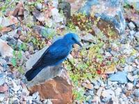 Blauwe Rotslijster-Blue Rocktrush-Blaumerle-Monticola solitarius Male-MDH