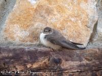 Rotszwaluw-Crag Martin-Felsenschwalbe-Ptyonoprogne rupestris-MDH