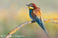 Bijeneter-Europian Bee-eater-Bienenfresser-Merops apiaster