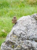 Rode Rotslijster-Rock Thrush-Steinrötel-Monticola saxatilis Female1-MDH
