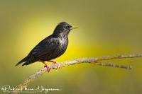 Zwarte Spreeuw-Spotless Starling-Einfarbstar-Sturnus unicolor