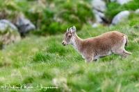 Iberische Steenbok-Iberian ibex-Iberiensteinbock-Capra pyrenaica Female