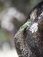 Parelhagendis-jewelled lizard-Perleidechse-Timon lepidus1-MDH
