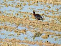 Zwarte Ibis-Glossy Ibis-Sichler-Plegadis falcinellus-MDH