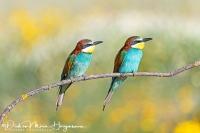 Bijeneter-Europian Bee-eater-Bienenfresser-Merops apiaster11
