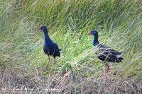 Purperkoet-Purple Swamp-hen-Purpurhuhn-Porphyrio porphyrio
