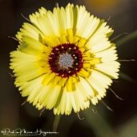 Christusanjelier-European umbrella milkwort-Bartpippau-Tolpis barbata-MDH