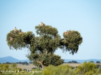 Vale gier-Griffon Vulture-Gänsegeier-Gyps fulvus4-MDH