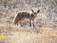 Rode vos-red fox-Rotfuchs-Vulpes vulpes1-MDH