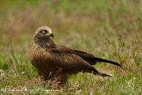 Zwarte Wouw-Black Kite-Schwarzmilan-Milvus migrans1.jpg
