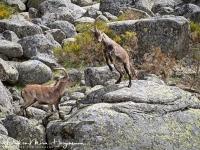 Iberische Steenbok-Iberian ibex-Iberiensteinbock-Capra pyrenaica5-MDH