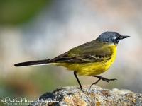 Gele Kwikstaart-Yellow Wagtail-Schafstelze-Motacilla flava-MDH