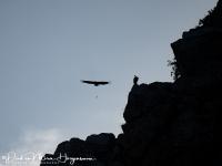 Vale gier-Griffon Vulture-Gänsegeier-Gyps fulvus2-MDH