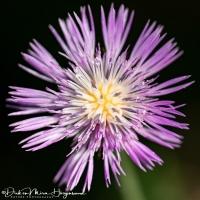 Centaurea pullata-MDH