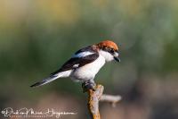 Roodkopklauwier-Woodchat Shrike-Rotkopfwürger-Lanius senator