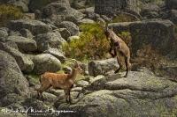 Iberische Steenbok-Iberian ibex-Iberiensteinbock-Capra pyrenaica Fight2