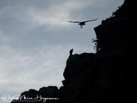 Vale gier-Griffon Vulture-Gänsegeier-Gyps fulvus3-MDH