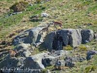 Iberische Steenbok-Iberian ibex-Iberiensteinbock-Capra pyrenaica-MDH