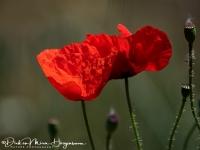 Grote Klaproos-Common Poppy-Klatschmohn-Papaver Rhoeas-MDH