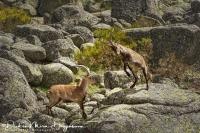 Iberische Steenbok-Iberian ibex-Iberiensteinbock-Capra pyrenaica Fight3