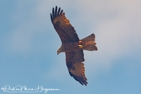 Zwarte Wouw-Black Kite-Schwarzmilan-Milvus migrans_