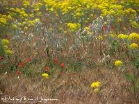 Bloemenveld-Field of floers-Blumenfeld MDH