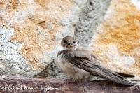 Rotszwaluw-Crag Martin-Felsenschwalbe-Ptyonoprogne rupestris