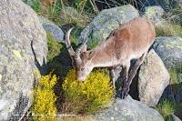 Iberische Steenbok-Iberian ibex-Iberiensteinbock-Capra pyrenaica2