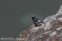 Zwarte Roodstaart-Black Redstart-Hausrotschwanz-Phoenicurus ochruros