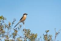 Zuidelijke Klapekster-Great Grey Shrike-Raubwürger-Lanius excubitor meridionalis