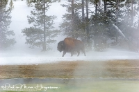 Bizon-Bison-at Exelsior Geyser