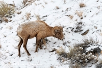 Dikhoornschaap-Bighorn Sheep-Dickhornschaf-Ovis canadensis-