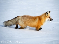 Vos-Red Fox-Rotfuchs-Vulpes vulpes-MD