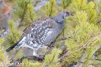 Blauw Sneeuwhoen- Dusky Grouse-Felsengebirgshuhn-Dendragapus obscurus