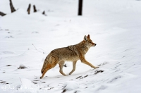 Coyote of prairiewolf-Coyote-Kojote-Canis latrans