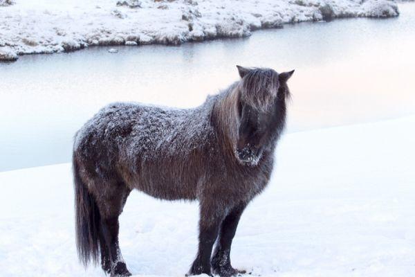 ijslands-paard-icelandic-horse-20141219-1969578324F644E955-EF3E-1428-062F-8E365A42CC38.jpg
