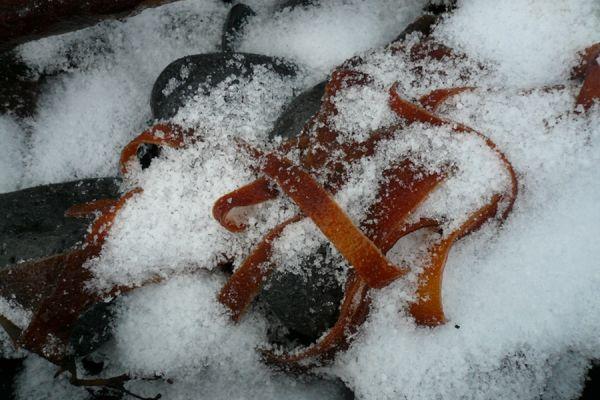 kelp-in-sneeuw-20141219-136273066522261BC3-CAAE-8158-F51B-E36680C8BF84.jpg