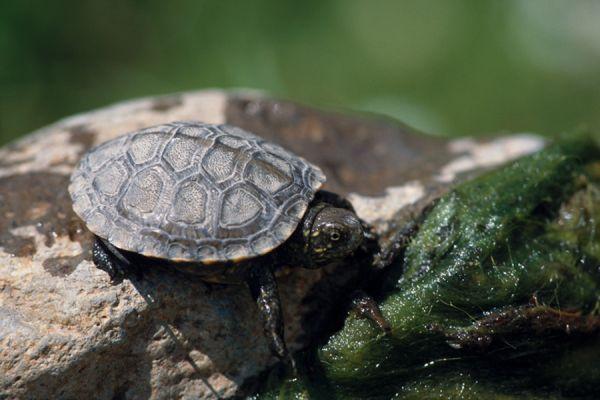 europese-moerasschildpad-european-pond-turtle-emys-orbicularis-20141219-209885198475AE3E65-9158-DBBB-6C5F-45780A15BF07.jpg