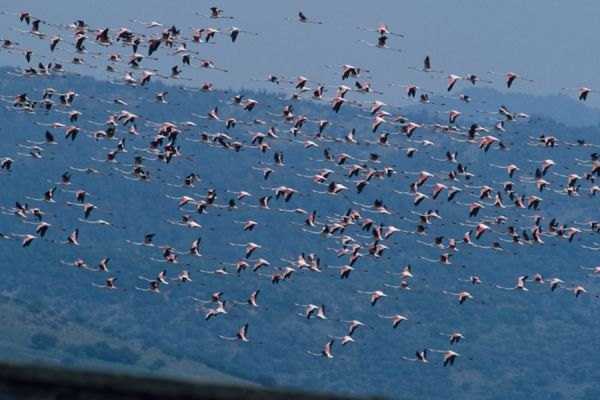 flamingo-greater-flamingo-phoenicopterus-ruber-20141219-2034568490CCD22B70-7A5E-378D-733E-EBC3579B542C.jpg
