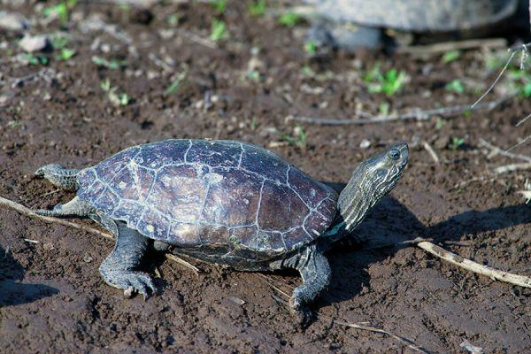 kaspische-beekschildpad-caspian-turtle-or-striped-neck-terrapin-mauremys-caspica2-20141219-1027706652B837CE86-6969-1464-775C-F198780FB7DF.jpg