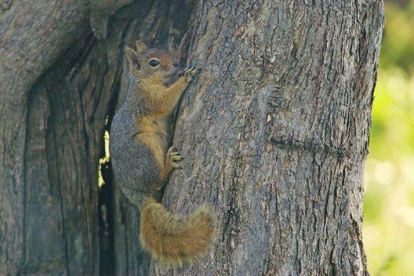 kaukasuseekhoorn-caucasian-squirrel-sciurus-anomalus-20141219-203708046492319D5C-04F5-F123-6803-59C8FC9068B7.jpg