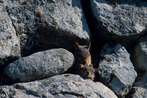 kaukasuseekhoorn-caucasian-squirrel-sciurus-anomalus1-20141219-158120093172B2D63C-127F-EDBF-4C21-66D316BCB1EB.jpg